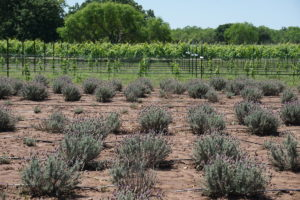 lavender-and-vineyard-jpg