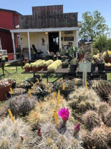 Cacti-treasure-at-trade-days-jpg