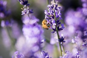 bee-pollinating-lavender-jpg