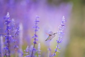 Lavender Adventures